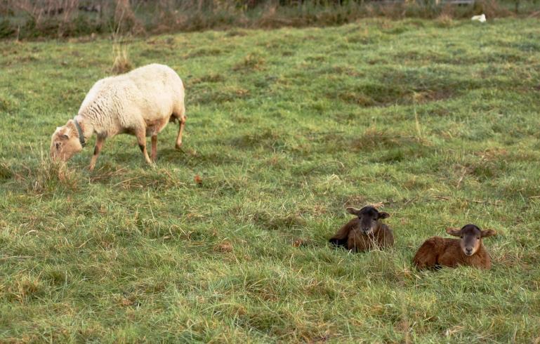 brand new lambs from next door